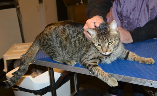 Luna is a Short Hair Domestic. He had his fur shaved down, nails clipped, ears cleaned, wash n blow dry and a full set of Softpaws nail caps. — at Kylies Cat Grooming Services.