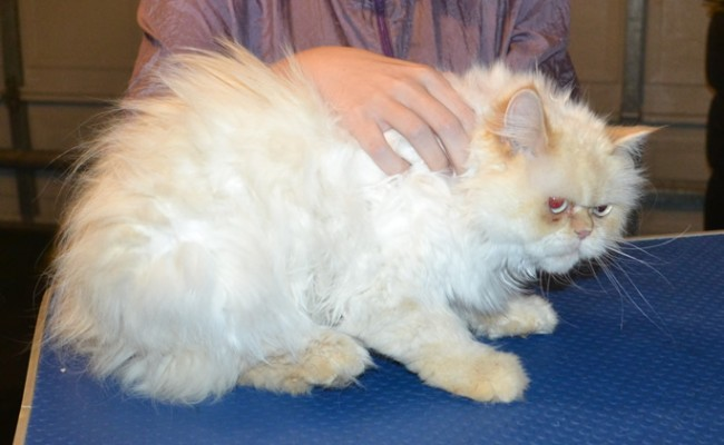 Chloe is a Persian. She had her matted fur shaved down, nails clipped, ears cleaned and a full set of pink Softpaw nail caps.