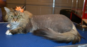 Rumeur is a Maincoone. She had her matted fur shaved down, nails clipped and ears cleaned. — at Kylies Cat Grooming Services.