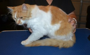 Henry is a Short / Medium Hair Domestic. He had his fur shaved down, nails clipped and ears cleaned. — at Kylies Cat Grooming Services.