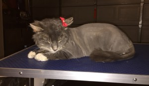 Bella is a Long hair Domestic. She had her fur shaved down, nails clipped, ears cleaned and a wash n blow dry. — at Kylies Cat Grooming Services.
