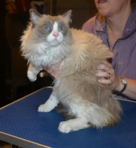 Jess is a Ragdoll. She had her matted fur shaved down, nails clipped and ears cleaned.