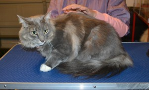Billy is a Long Hair Domestic. He had his fur shaved down, nails clipped and ears cleaned. — at Kylies Cat Grooming Services.