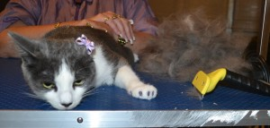 Gypsy is a Short hair Domestic. She had her fur raked, nails clipped, ears cleaned and a full set of Glitter Purple softpaw nail caps.