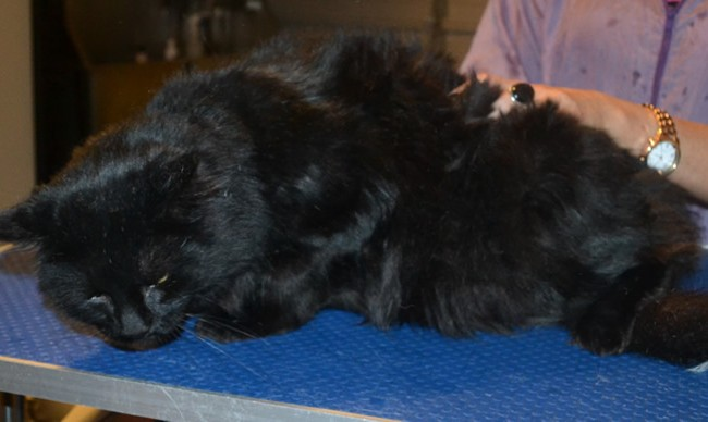 Bagheera is a Long hair Domestic x. He had his matted fur shaved down, ears cleaned, nails clipped and a wash n blow dry.