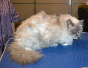 Baldric is a Ragdoll. He had his matted fur shaved down, nails clipped, ears cleaned and a wash n blow dry.