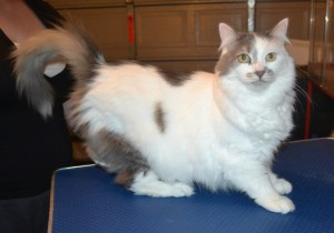 Smudge is a Medium hair domestic. He had his nails clipped, ears cleaned an his fur shaved down.
