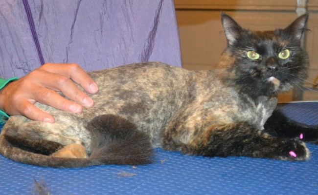 Olive is a Medium Hair Domestic. She had her matted fur shaved down, nails clipped, ears cleaned and Pink Softpaw nail caps put on.