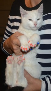 Tahi is a Short Hair Domestic Kitten. He came in for a full set of Orange kitten Softpaw nail caps.