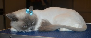 Chanel is a Ragdoll. She had her matted fur shaved down, nails clipped, ears cleaned and a wash n blow dry.