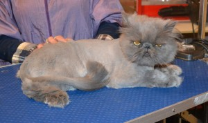 Taffy is a Persian. He had his matted fur shaved down, nails clipped and ears and eyes cleaned.