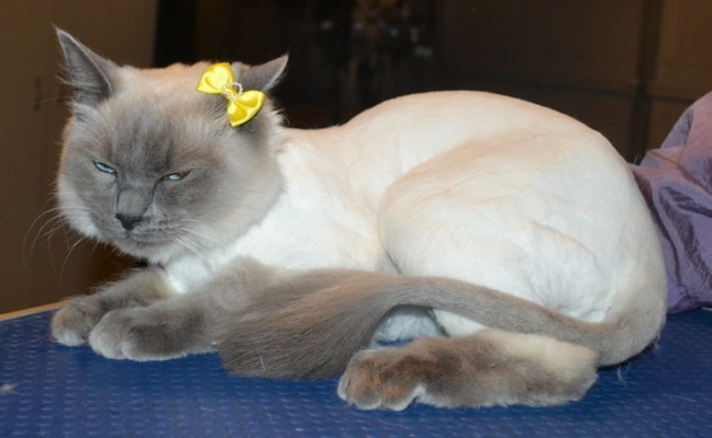 Channel is a Ragdoll. She had her fur shaved down, nails clipped and ears cleaned.