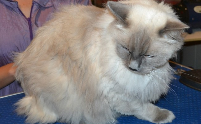 Simba is a Ragdoll. He had his matted fur shaved, nails clipped, and ears cleaned.