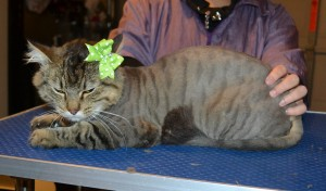 Menosh is a Medium Hair Domestic. She had her fur shaved down, nails clipped, ears cleaned and a full set of Steel Grey Softpaw nail caps.