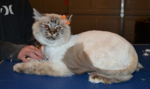 Blondie is a Ragdoll. She had her fur shaved down, nails clipped, ears cleaned and a wash n blow dry.