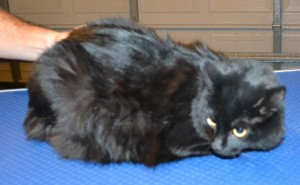 Pepper is a Medium hair Domestic. She had her fur shaved down, nails clipped, ears cleaned and a full set of Black Softpaw nail caps.