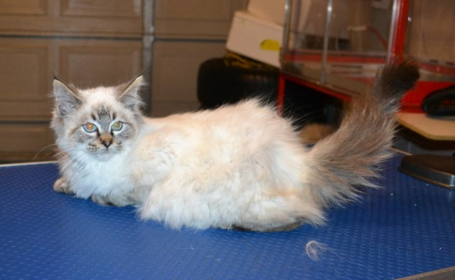 Panda is a Ragdoll. She had her fur shaved down, nails clipped, ears cleaned and a wash n blow dry.