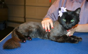 Queenie is a Long/medium Hair Domestic. She had her fur shaved down, nails clipped, ears cleaned and purple softpaws put on her back feet to stop her from scratching herself.