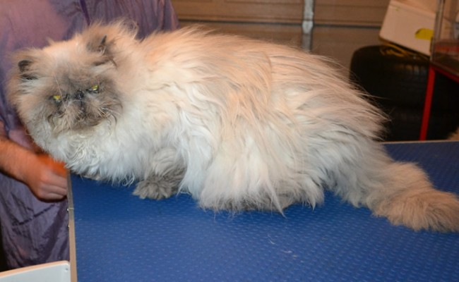 Mozart is a Himalayan. He had his matted fur shaved down, nails clipped, ears and eyes cleaned and a wash n blow dry.