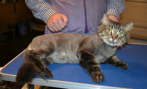 Conan is a Mainecoon x Domestic. He had his fur shaved down, nails clipped , ears cleaned and Brown softpaw nail caps put on.