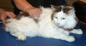 Bucket is a Long to medium hair Domestic. He had his fur shaved down, nails clipped and ears cleaned.