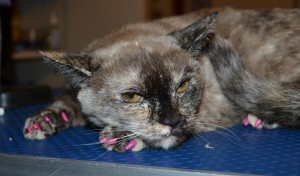 Xena is a Scottish Fold x Tonkinese.. She came in for a full set of Hot pink Softpaw nail caps. She was Angry!