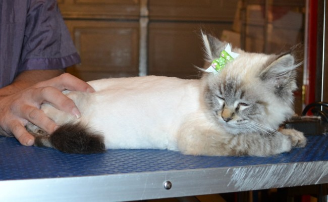Peaches is a Ragdoll. She had her fur shaved down, nails clipped, ears cleaned and a wash n blow dry.