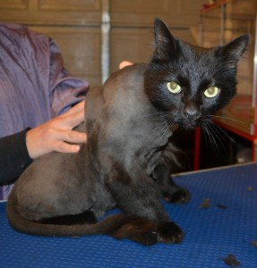 Suede is a medium/long hair domestic. He had his fur shaved down, nails clipped, ears cleaned and a full set of Orange and Pink Softpaw nail caps