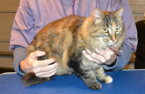 Kitty is a medium Hair Domestic. She had her matted fur shaved down, nails clipped and ears cleaned.