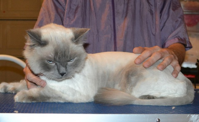 Jasper is a Ragdoll. He had his matted fur shaved down, nails clipped and ears cleaned.
