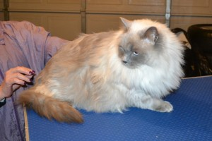 Mishka is a Ragdoll. She had her fur shaved down, nails clipped and ears cleaned.