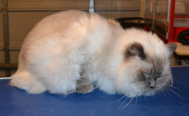 Romeo is a Ragdoll. He had his fur shaved down, nails clipped and ears clean.