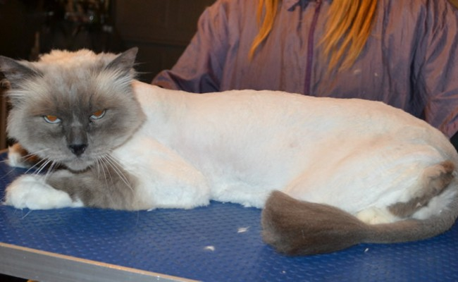 Oscar is a Birman. He had his matted fur shaved down, nails clipped and ears cleaned.