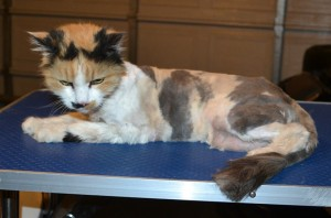 Freckle is a 19 yr old Long Hair Domestic. She had her matted fur shaved down, nails clipped and ears cleaned.