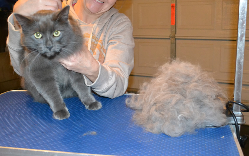 Gallery Kylies Cat Grooming Services Part 71