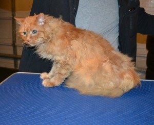 Ginger is a Medium Hair Domestic. Her current owner took her in as she was left behind. Her fur was badly matted. She had her matted fur shaved down, nails clipped and ears clean. She looks also like a very old cat, around 15 to 16 yrs old.