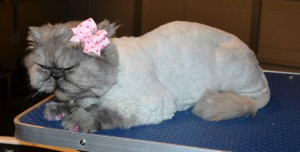 Maddison is a Persian. She had her matted fur shaved down, nails clipped, ears and eyes cleaned and a full set of Pink Softpaw nail caps.