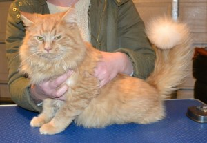 Stinky Elliot is a Long Hair Domestic. He had his fur shaved down, nails clipped, ears clean and a wash n blow dry.