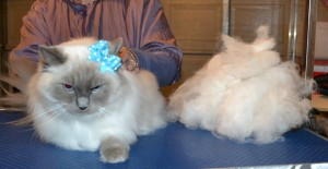 Missy is a Ragdoll. She had her fur raked, nails clipped and ears cleaned.
