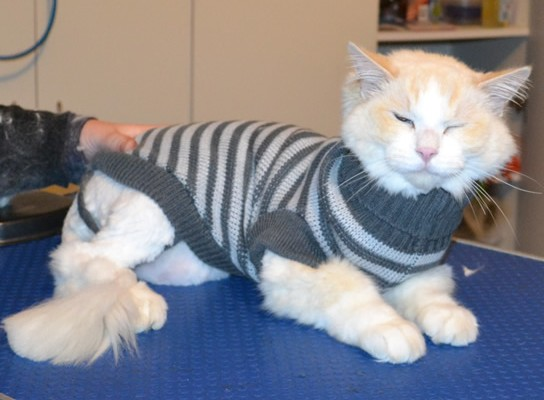 Janser is a Ragdoll. He had his matted fur shaved down, nails clipped and ears cleaned.
