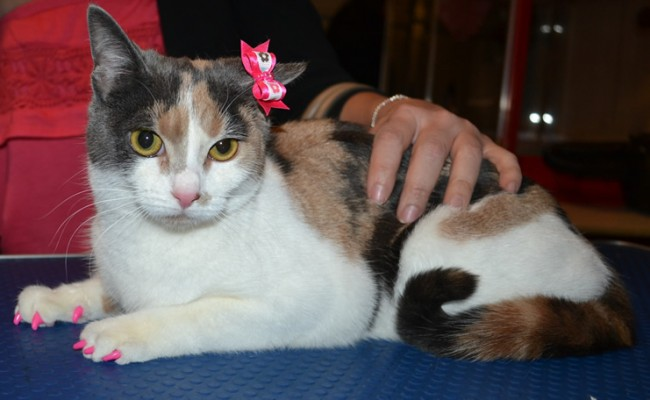 Boo is a Short Hair Domestic. She came in for a full set of Hot Pink Softpaw nail caps.