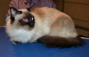 Manfred is a Ragdoll. He had his fur shaved down, nails clipped, ears cleaned and a full set of Softpaws nail caps.
