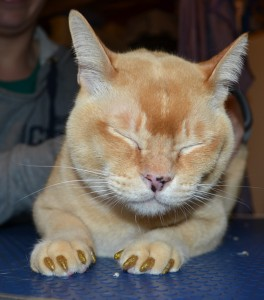 Digger is a Burmese. He came in for a full set of Gold Glitter Softpaw nail caps.