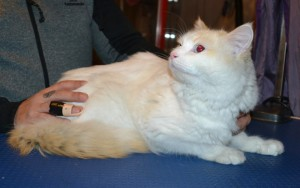 Tako is a Ragdoll. He had his fur shaved down, nails clipped,ears cleaned and a wash n blow dry.