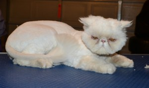 Mr Miyagi is a Persian. He had his matted fur shaved down, nails clipped and ears n eyes cleaned.