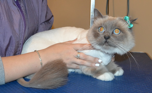 Tiffany is a Birman. She had her fur shaved down, nails clipped and ears cleaned.