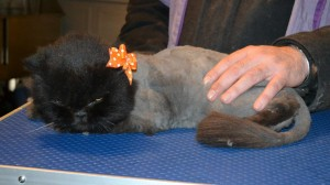 Muffin is a Persian. She had her matted fur shaved down, nails clipped and ears and eyes cleaned.