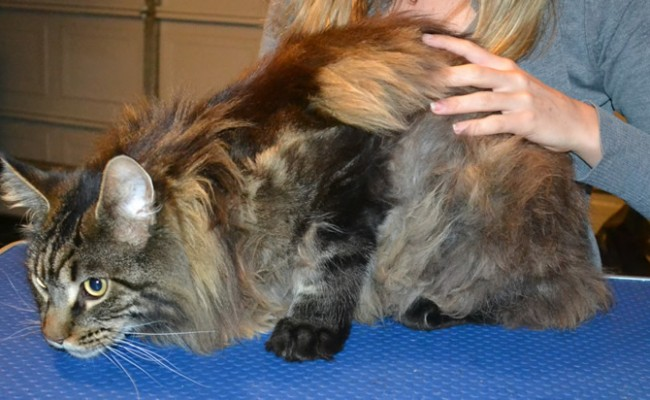 Wilson is a Mainecoon. . He had his fur shaved off, nails clipped and ears cleaned.