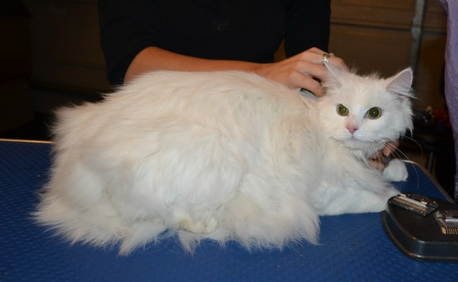 Khalessi is a Long Hair Domestic. She had her matted fur shaved down, nails clipped, ears cleaned and a wash n blow dry.