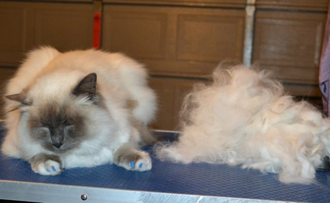Sebastian is a Ragdoll. He had his matted fur shaved underneth, nails clipped, top of his hair raked, ears cleaned, full set of Blue Softpaw nails caps and purchased this cheeky top from us.